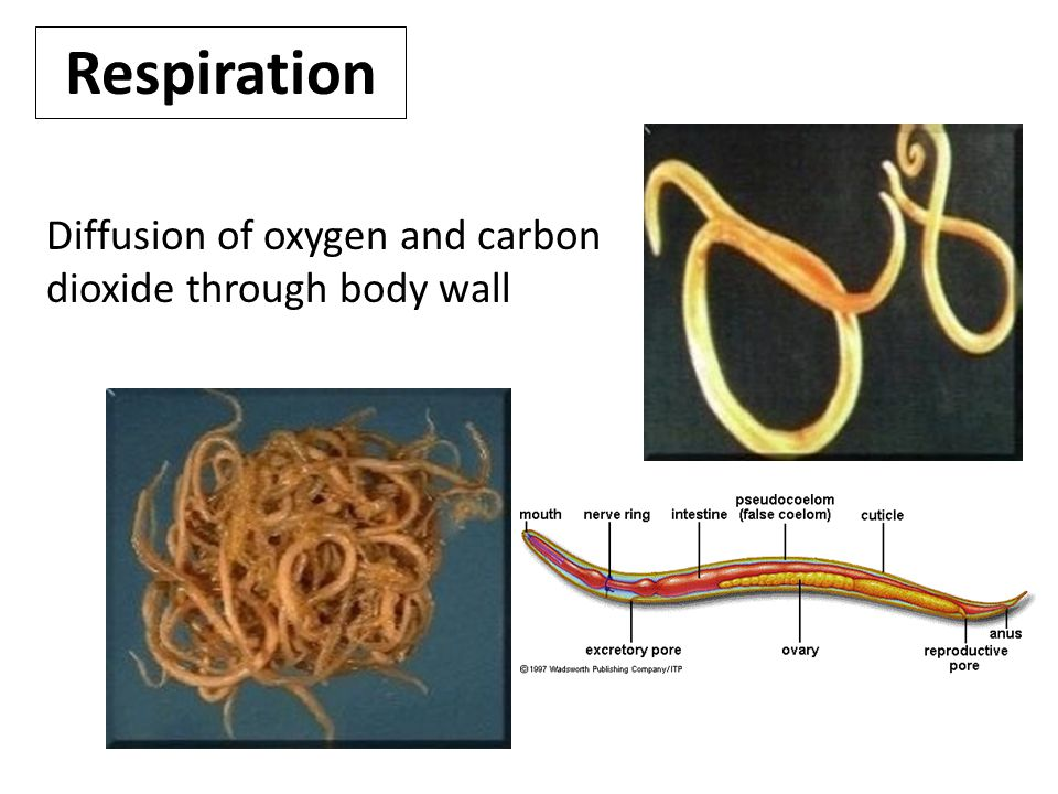 Respiration Diffusion of oxygen and carbon dioxide through body wall