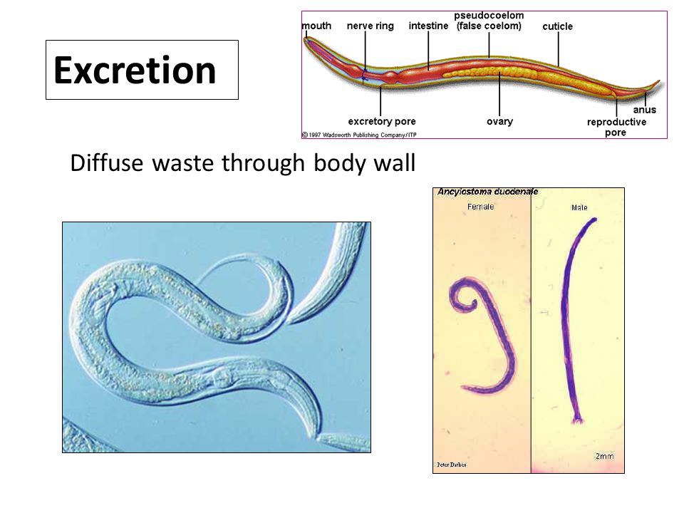 Excretion Diffuse waste through body wall