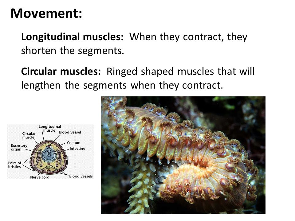 Movement: Longitudinal muscles: When they contract, they shorten the segments. Circular muscles: Ringed shaped muscles that will lengthen the segments