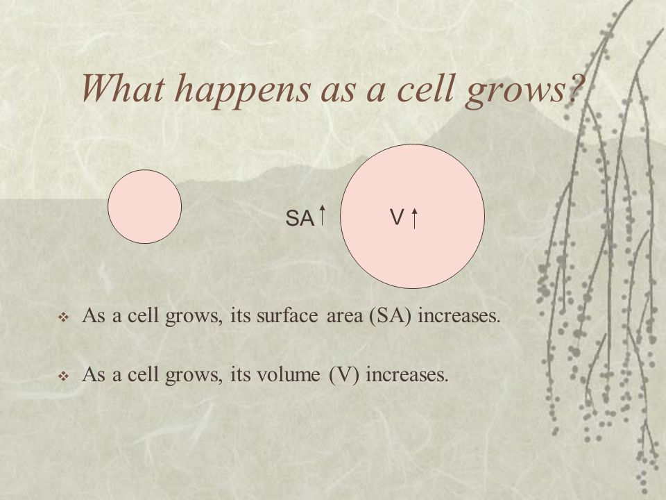 What happens as a cell grows.As a cell grows, its surface area (SA) increases.