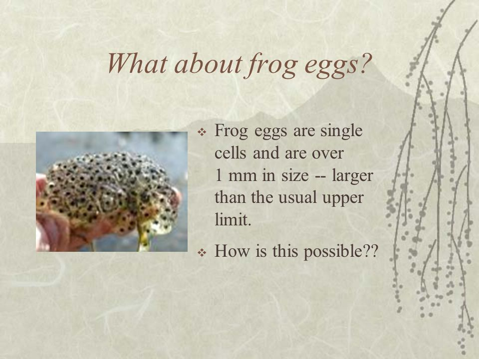 What about frog eggs? Frog eggs are single cells and are over 1 mm in size -- larger than the usual upper limit. How is this possible??