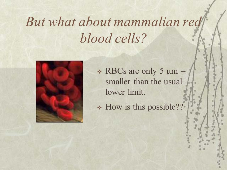 But what about mammalian red blood cells.RBCs are only 5 m -- smaller than the usual lower limit.