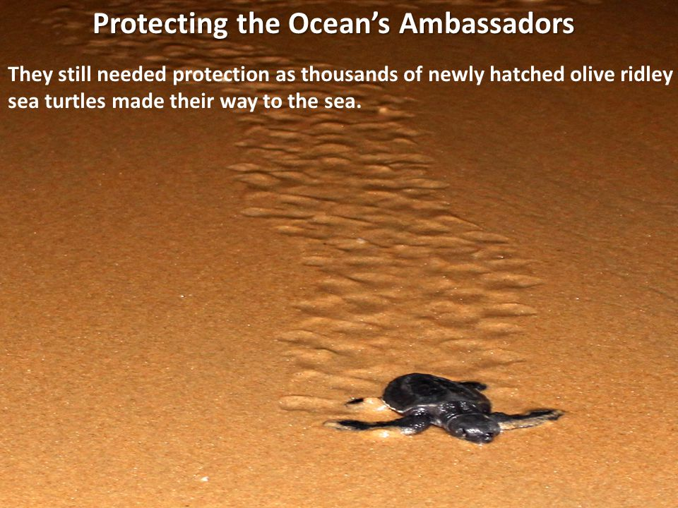 They still needed protection as thousands of newly hatched olive ridley sea turtles made their way to the sea. Protecting the Oceans Ambassadors