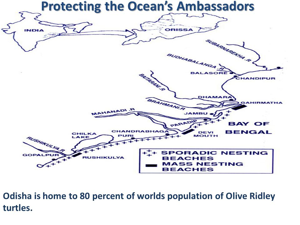 Protecting the Oceans Ambassadors Odisha is home to 80 percent of worlds population of Olive Ridley turtles.