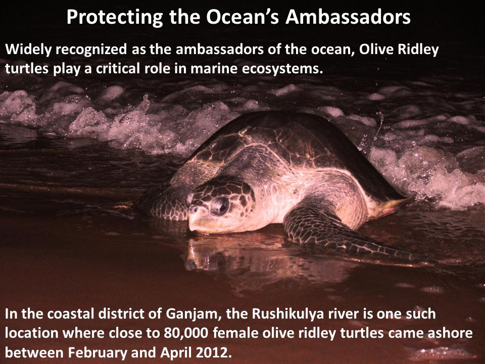 Protecting the Oceans Ambassadors Widely recognized as the ambassadors of the ocean, Olive Ridley turtles play a critical role in marine ecosystems.