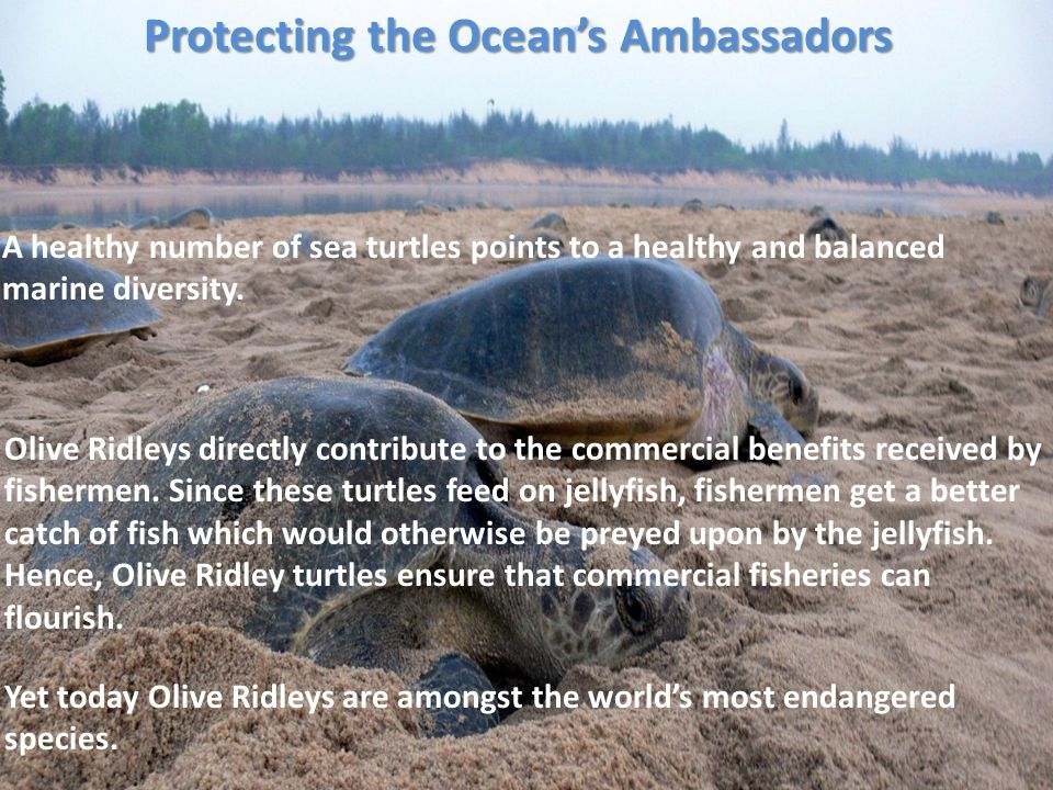 Protecting the Oceans Ambassadors Yet today Olive Ridleys are amongst the worlds most endangered species. A healthy number of sea turtles points to a