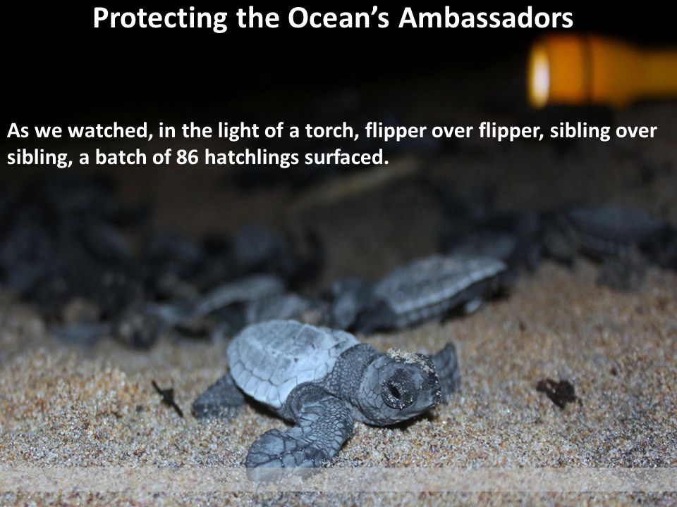 Protecting the Oceans Ambassadors As we watched, in the light of a torch, flipper over flipper, sibling over sibling, a batch of 86 hatchlings surfaced.