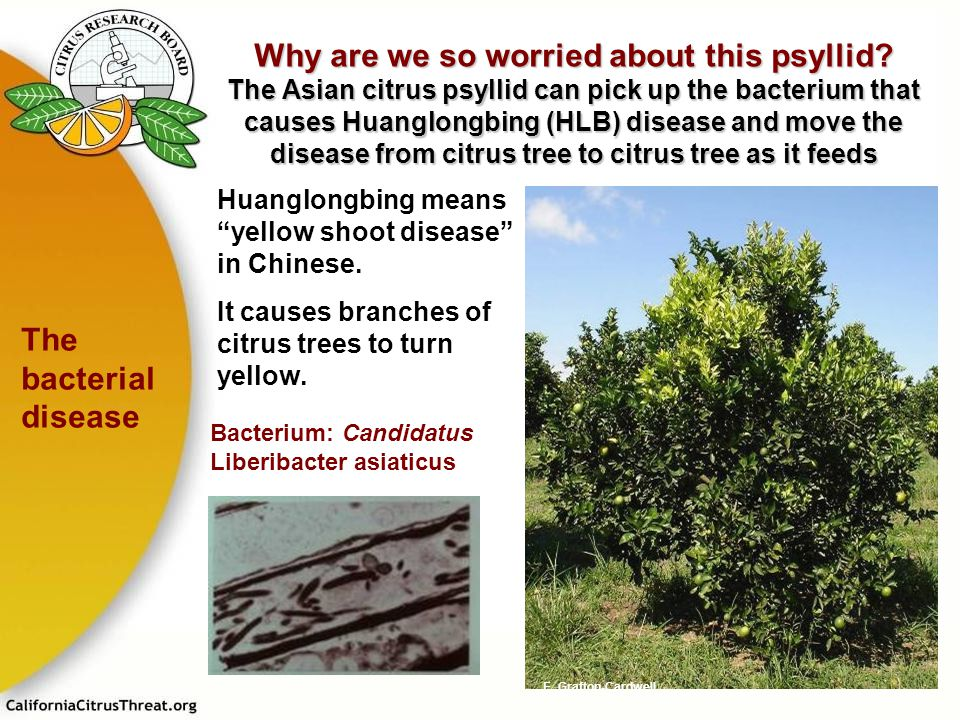 Why are we so worried about this psyllid? The Asian citrus psyllid can pick up the bacterium that causes Huanglongbing (HLB) disease and move the dise
