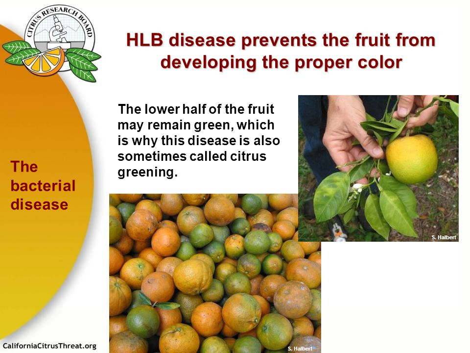 HLB disease prevents the fruit from developing the proper color The lower half of the fruit may remain green, which is why this disease is also someti
