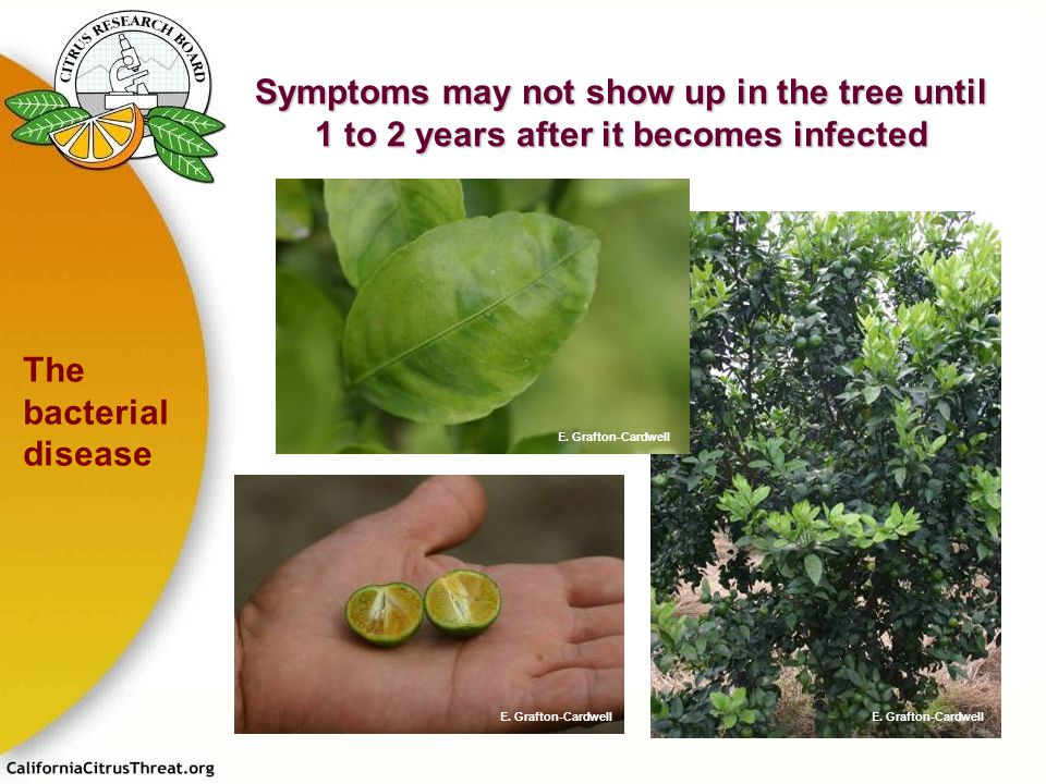 Symptoms may not show up in the tree until 1 to 2 years after it becomes infected The bacterial disease E. Grafton-Cardwell