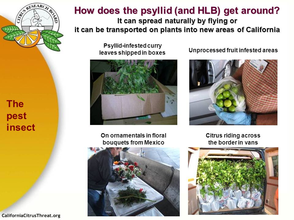 Psyllid-infested curry leaves shipped in boxes Unprocessed fruit infested areas Citrus riding across the border in vans On ornamentals in floral bouqu