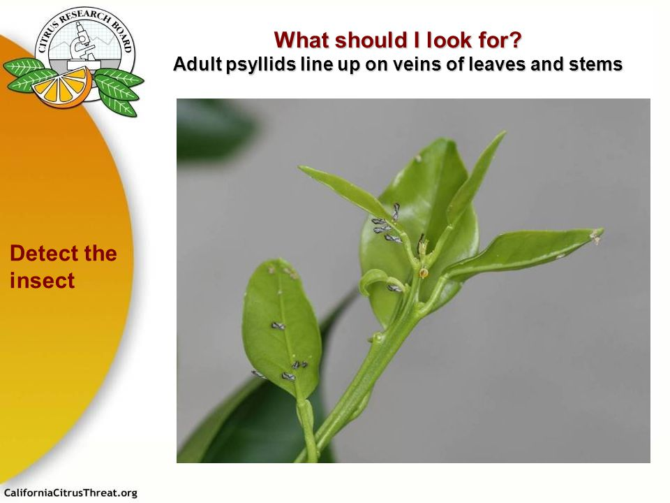 What should I look for? Adult psyllids line up on veins of leaves and stems Detect the insect E. Grafton-Cardwell M. Rogers