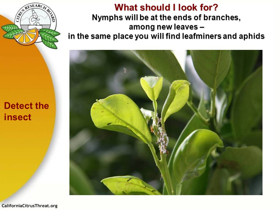 What should I look for? Nymphs will be at the ends of branches, among new leaves – in the same place you will find leafminers and aphids Detect the in