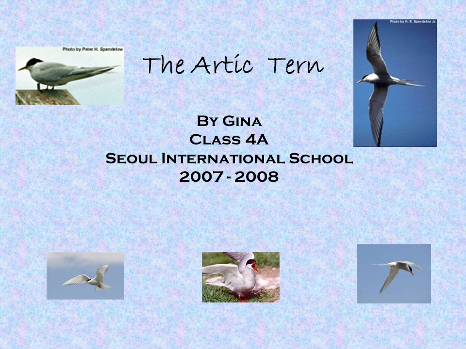 The Artic Tern By Gina Class 4A Seoul International School 2007 - 2008