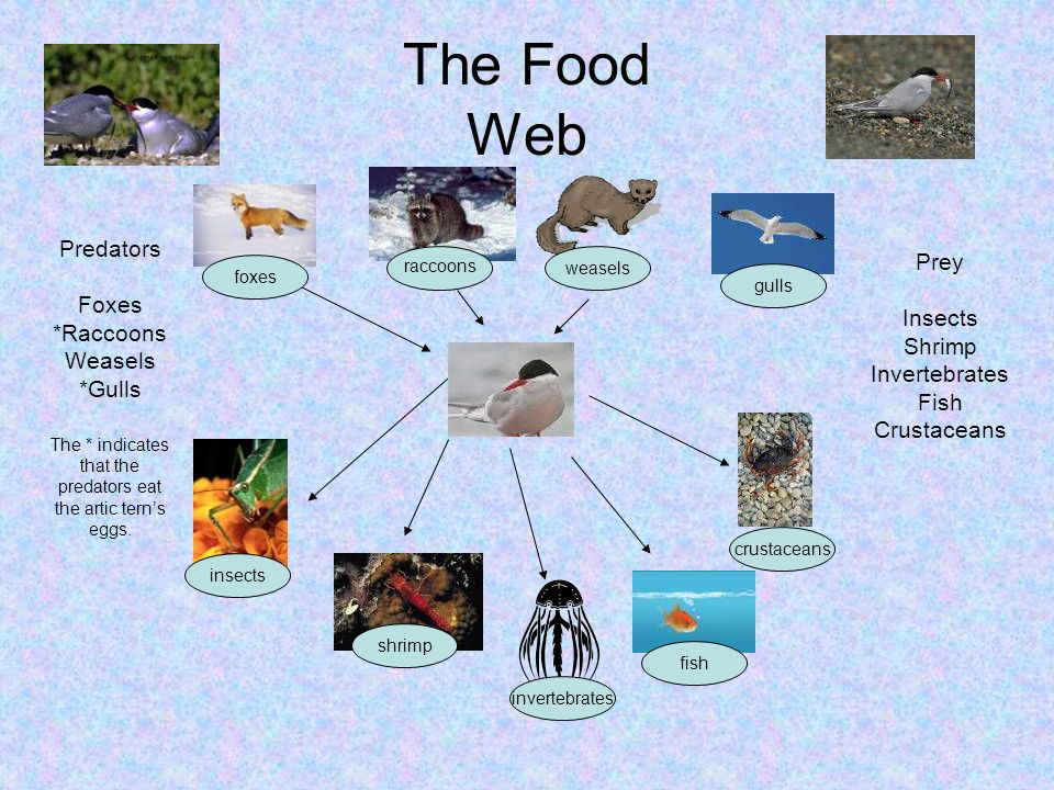 The Food Web insects shrimp invertebrates fish crustaceans foxes weasels gulls Predators Foxes *Raccoons Weasels *Gulls The * indicates that the predators eat the artic terns eggs.