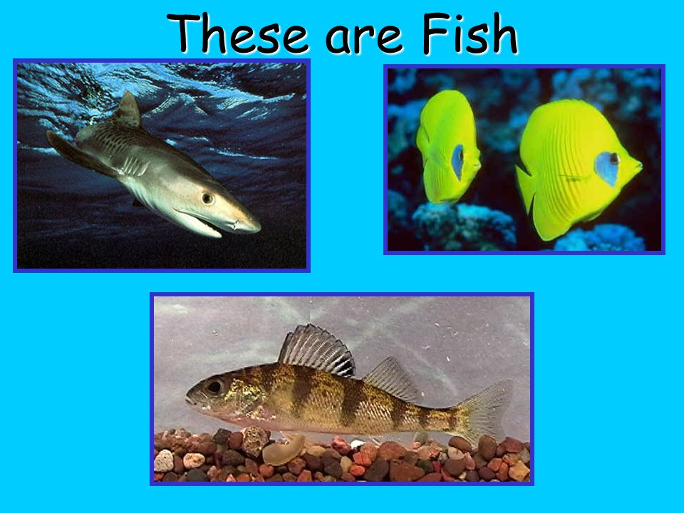 Fish Are cold-blooded Have gills and scales Live in water Have a Backbone