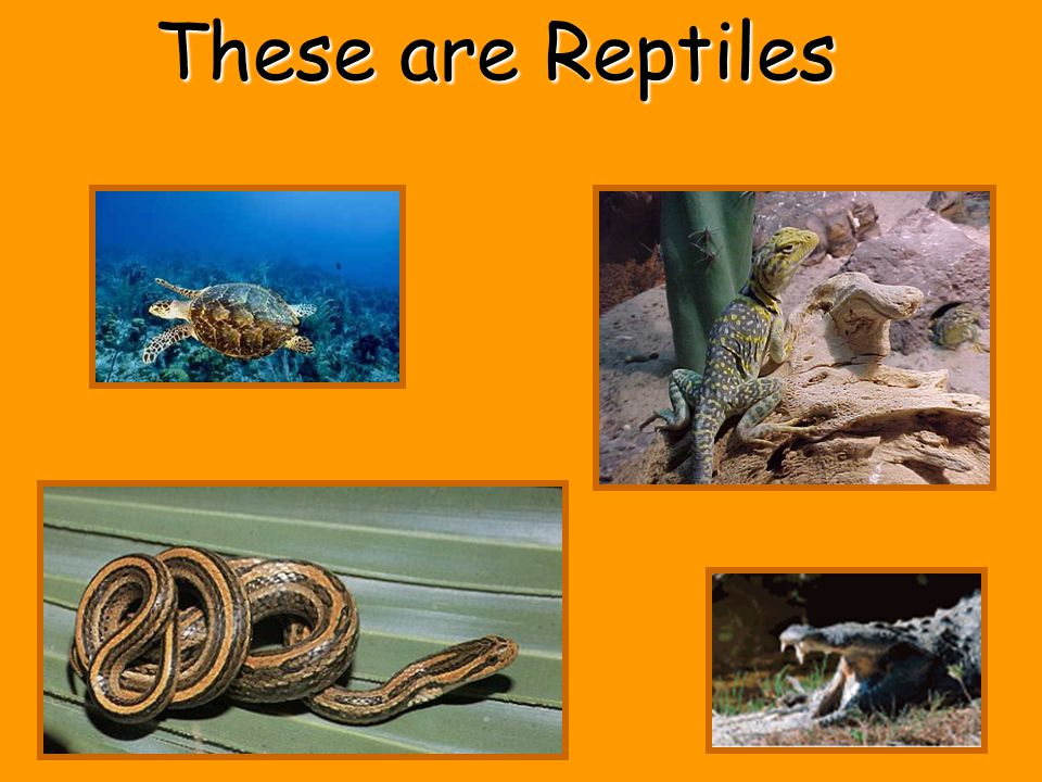 Reptiles Have scales Live on land Are cold-blooded Usually lay eggs Have a Backbone
