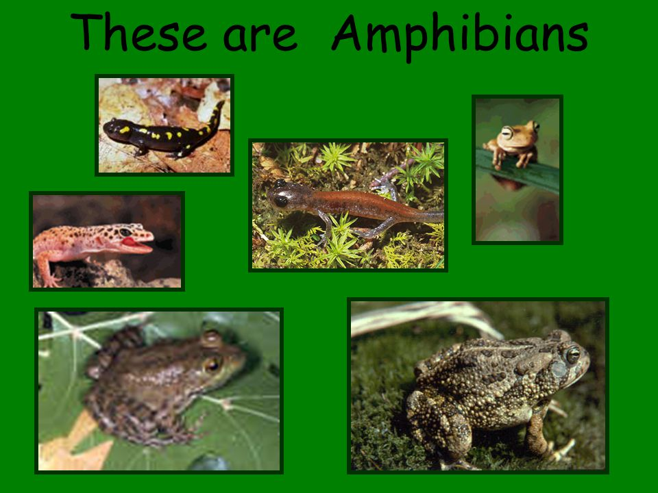 Amphibians Live in water and on land Are cold blooded Have smooth skin Lay eggs Have a Backbone