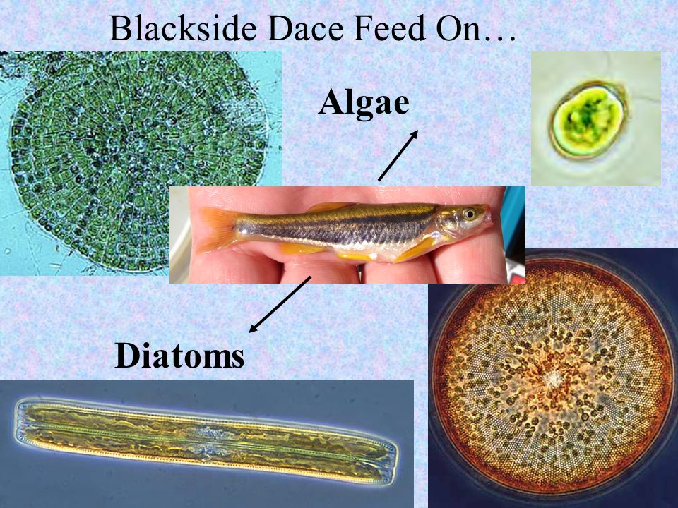 Algae Diatoms Blackside Dace Feed On…