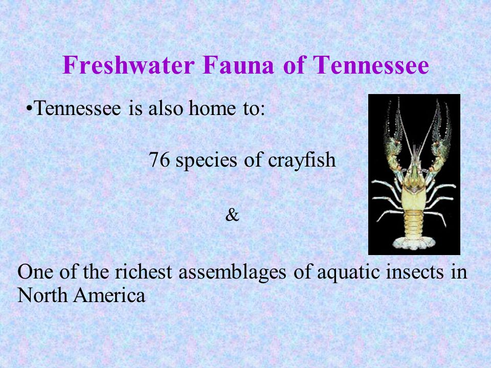 Freshwater Fauna of Tennessee Tennessee is also home to: 76 species of crayfish One of the richest assemblages of aquatic insects in North America &