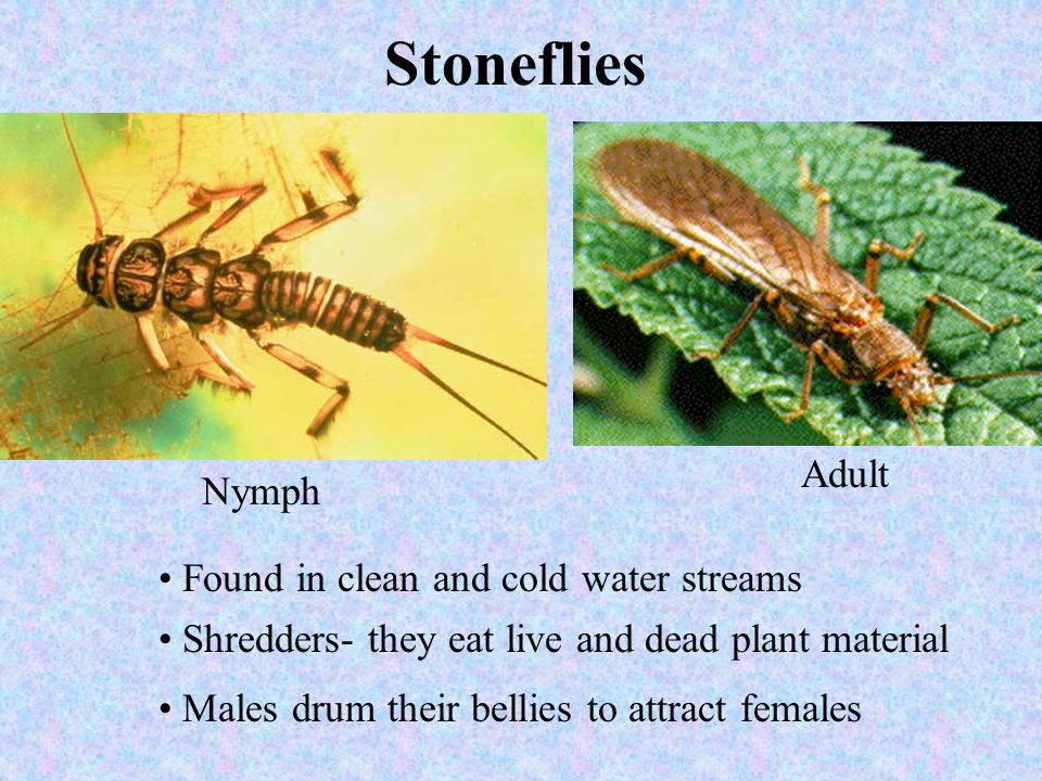 Stoneflies Nymph Adult Found in clean and cold water streams Shredders- they eat live and dead plant material Males drum their bellies to attract fema