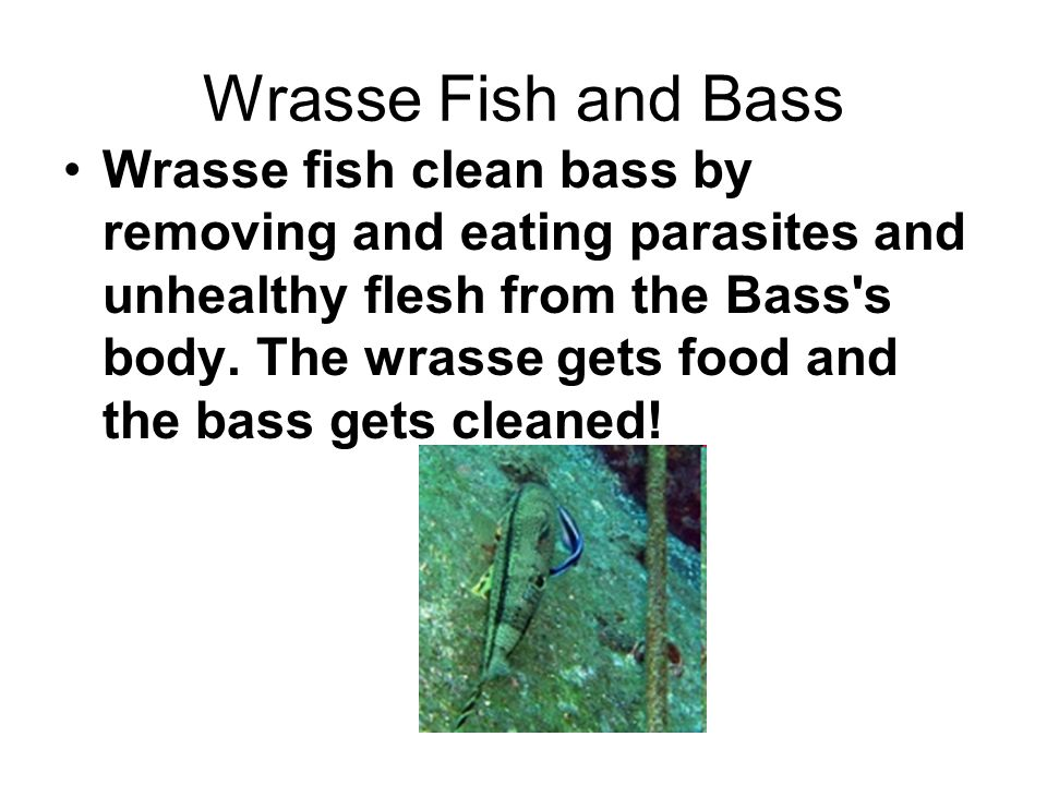 Wrasse Fish and Bass Wrasse fish clean bass by removing and eating parasites and unhealthy flesh from the Bass s body.
