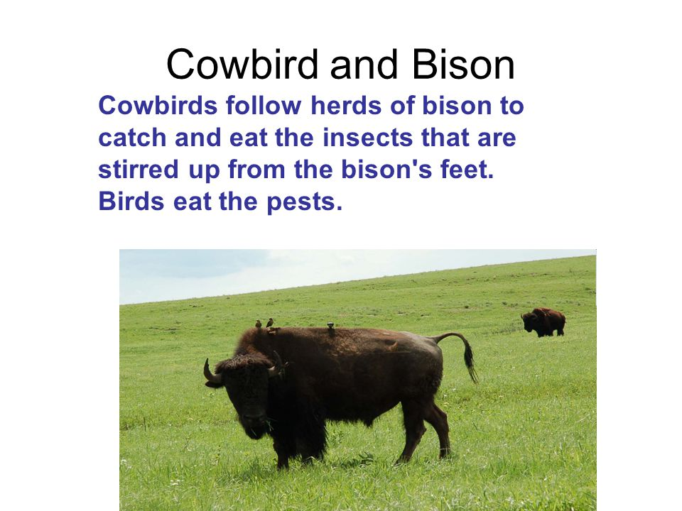 Cowbird and Bison Cowbirds follow herds of bison to catch and eat the insects that are stirred up from the bison's feet. Birds eat the pests.