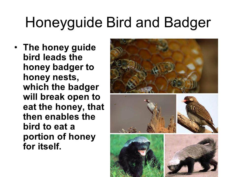 Honeyguide Bird and Badger The honey guide bird leads the honey badger to honey nests, which the badger will break open to eat the honey, that then en