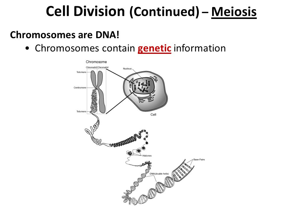 Cell Division – Mitosis (Review) – Division of a somatic cell that results in 2 genetically identical daughter cells Cells must divide for growth, repair of tissues, and asexual reproduction Cell division begins in Interphase when the chromosomes duplicate