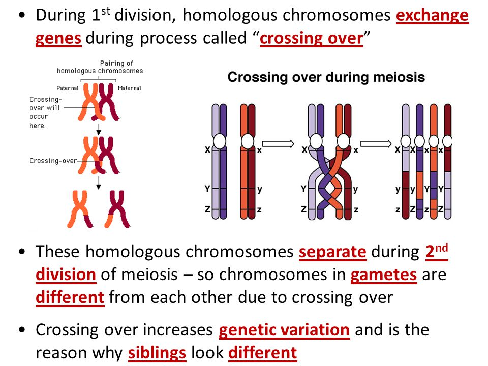 During 1 st division, homologous chromosomes exchange genes during process called crossing over These homologous chromosomes separate during 2 nd divi