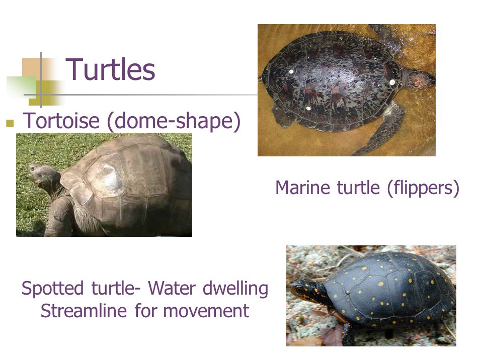 Turtles Tortoise (dome-shape) Marine turtle (flippers) Spotted turtle- Water dwelling Streamline for movement