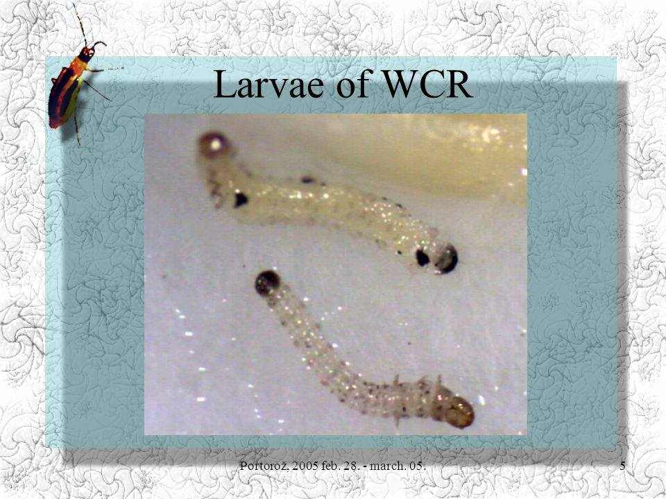 Portorož, 2005 feb. 28. - march. 05.5 Larvae of WCR