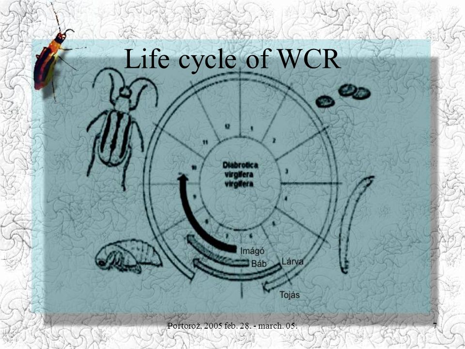 Portorož, 2005 feb. 28. - march. 05.7 Life cycle of WCR