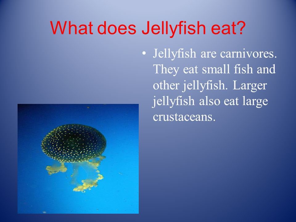 What does Jellyfish eat.Jellyfish are carnivores.