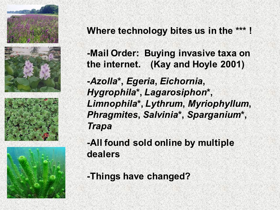 -Mail Order: Buying invasive taxa on the internet. (Kay and Hoyle 2001) -Azolla*, Egeria, Eichornia, Hygrophila*, Lagarosiphon*, Limnophila*, Lythrum,