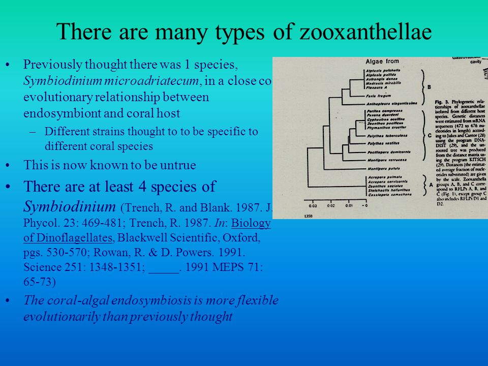 There are many types of zooxanthellae Previously thought there was 1 species, Symbiodinium microadriatecum, in a close co- evolutionary relationship between endosymbiont and coral host –Different strains thought to to be specific to different coral species This is now known to be untrue There are at least 4 species of Symbiodinium (Trench, R.