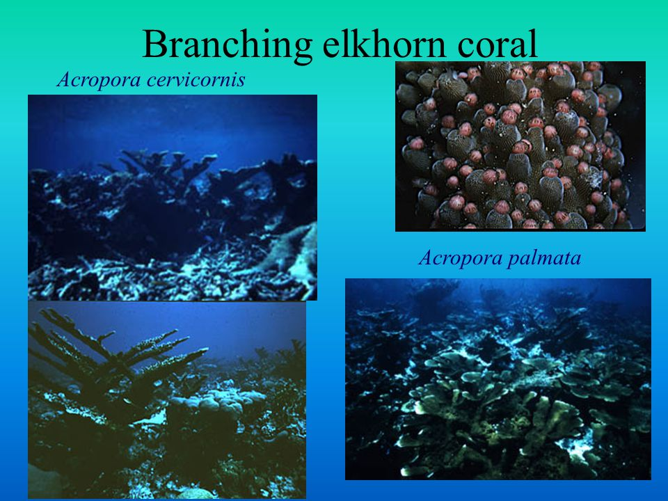 Branching elkhorn coral Acropora cervicornis Acropora palmata
