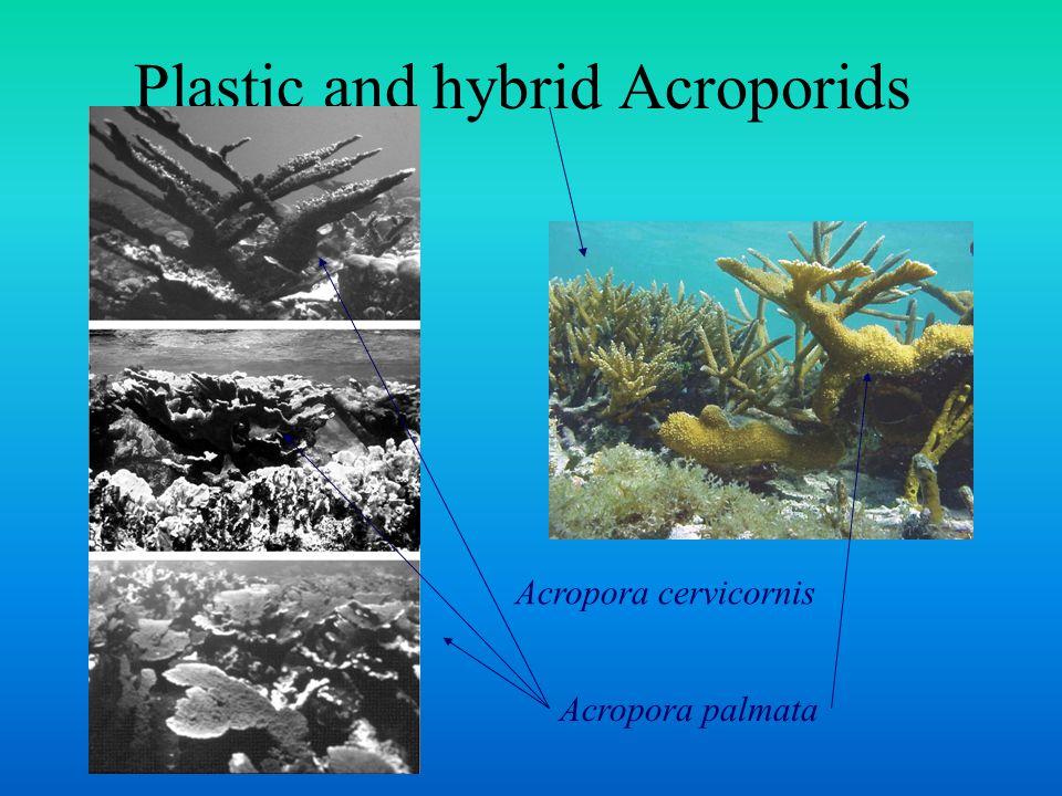 Plastic and hybrid Acroporids Acropora cervicornis Acropora palmata