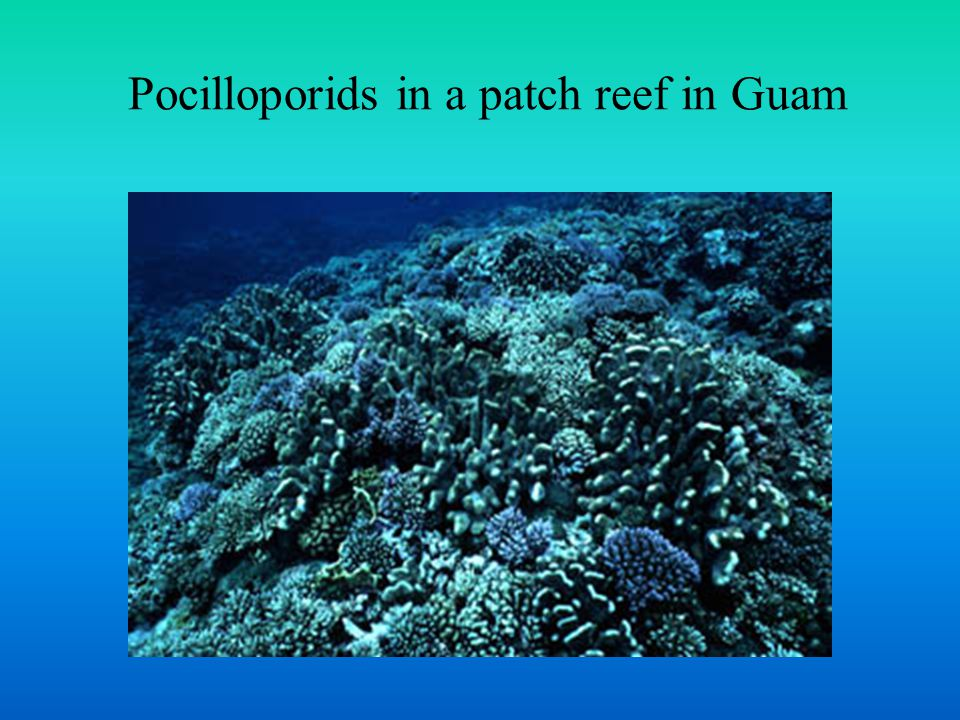 Pocilloporids in a patch reef in Guam