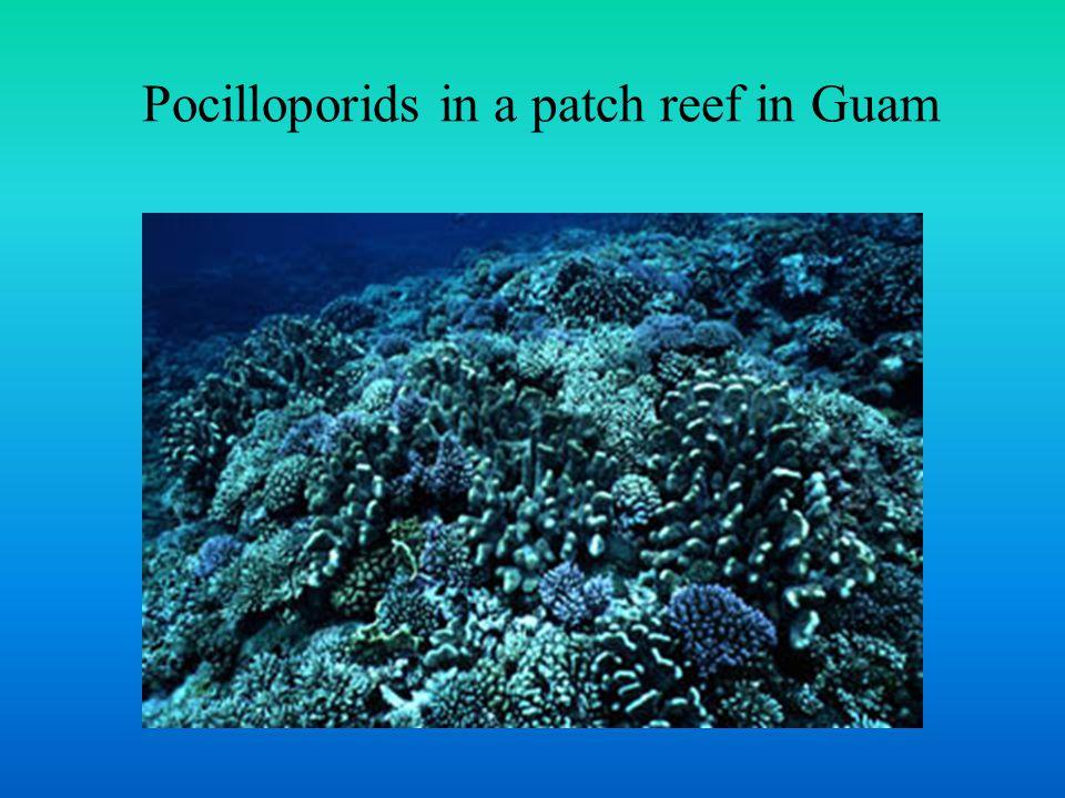 Montastrea sibling species complex Reef-building Corals of the Caribbean Sea