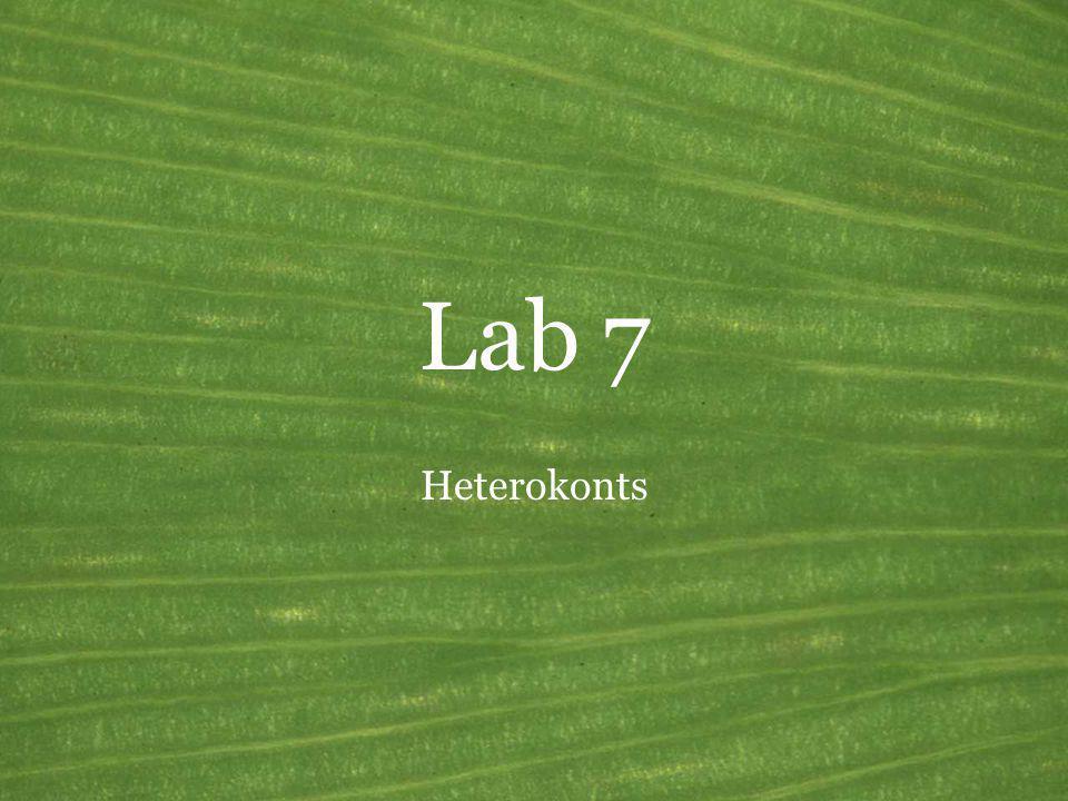 Lab 7 Heterokonts
