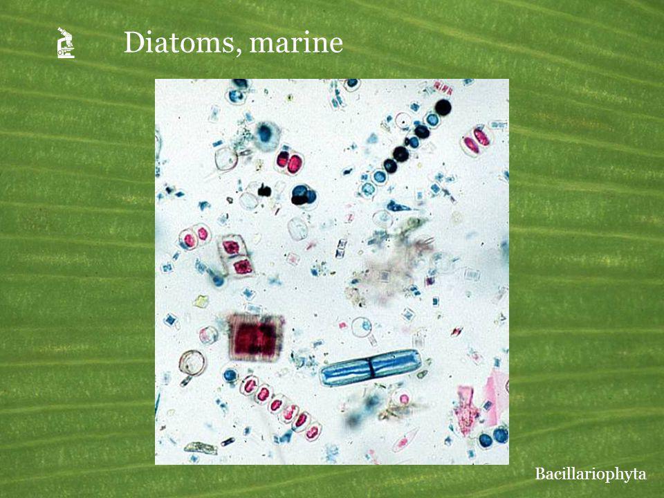 Diatoms, marine Bacillariophyta