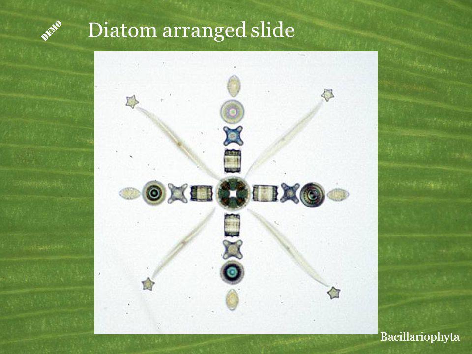 Diatom arranged slide Bacillariophyta