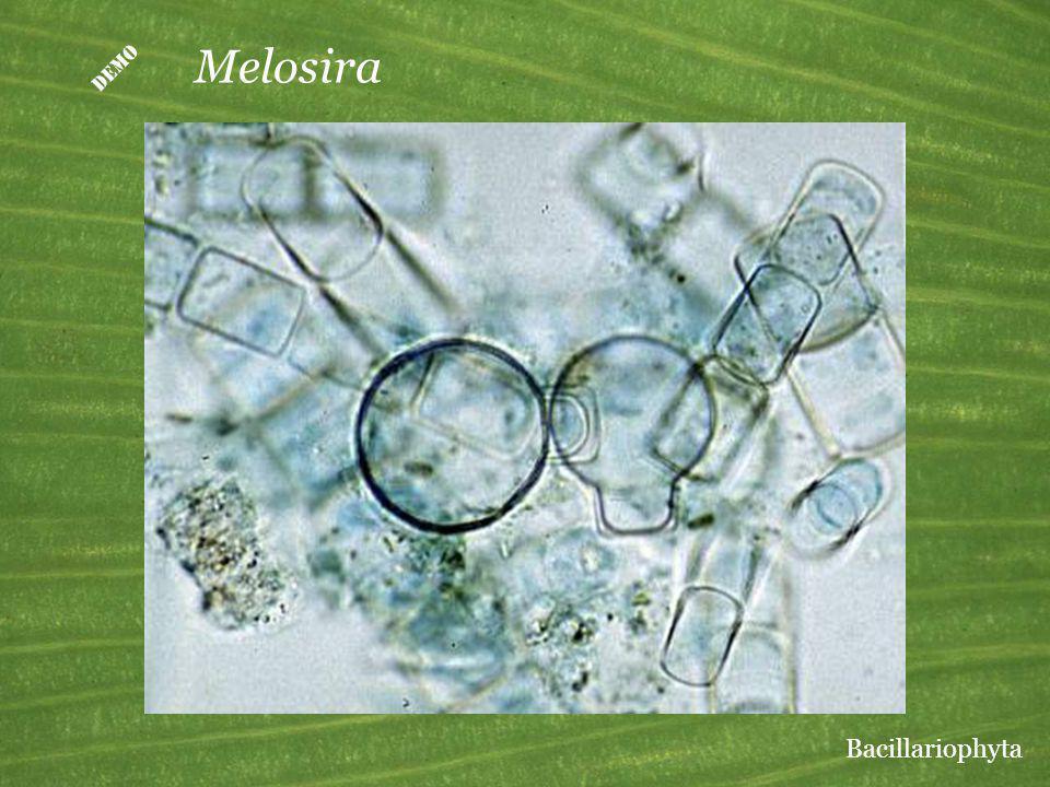 Melosira Bacillariophyta