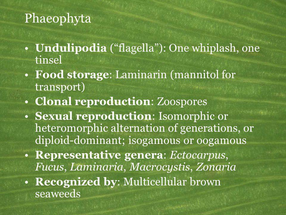 Phaeophyta Undulipodia (flagella): One whiplash, one tinsel Food storage: Laminarin (mannitol for transport) Clonal reproduction: Zoospores Sexual rep