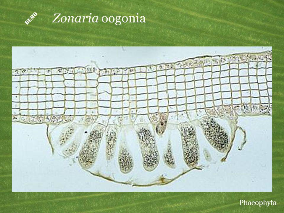 Zonaria oogonia Phaeophyta