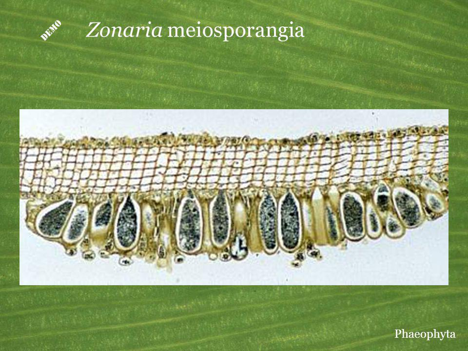 Zonaria meiosporangia Phaeophyta