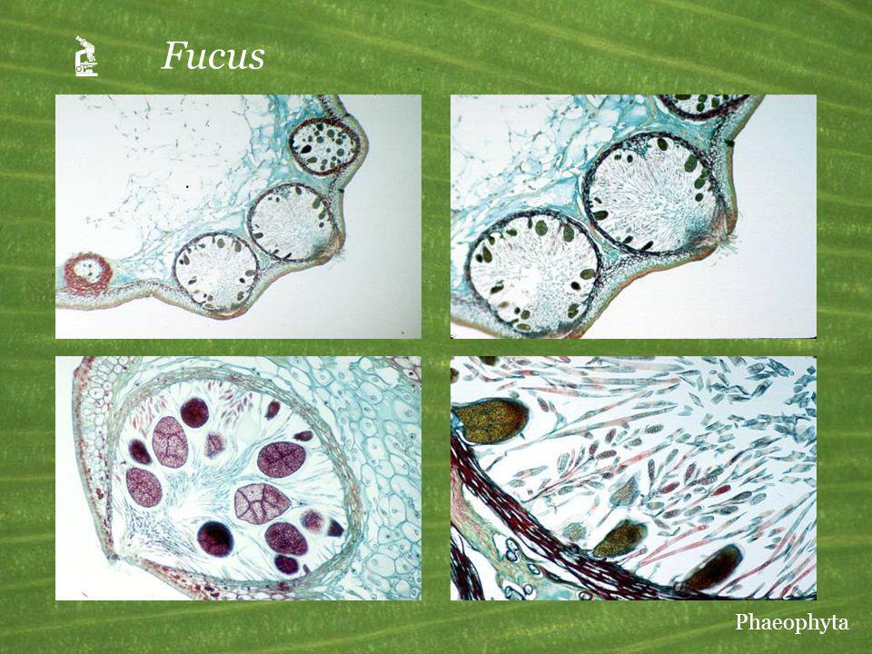 Fucus Phaeophyta
