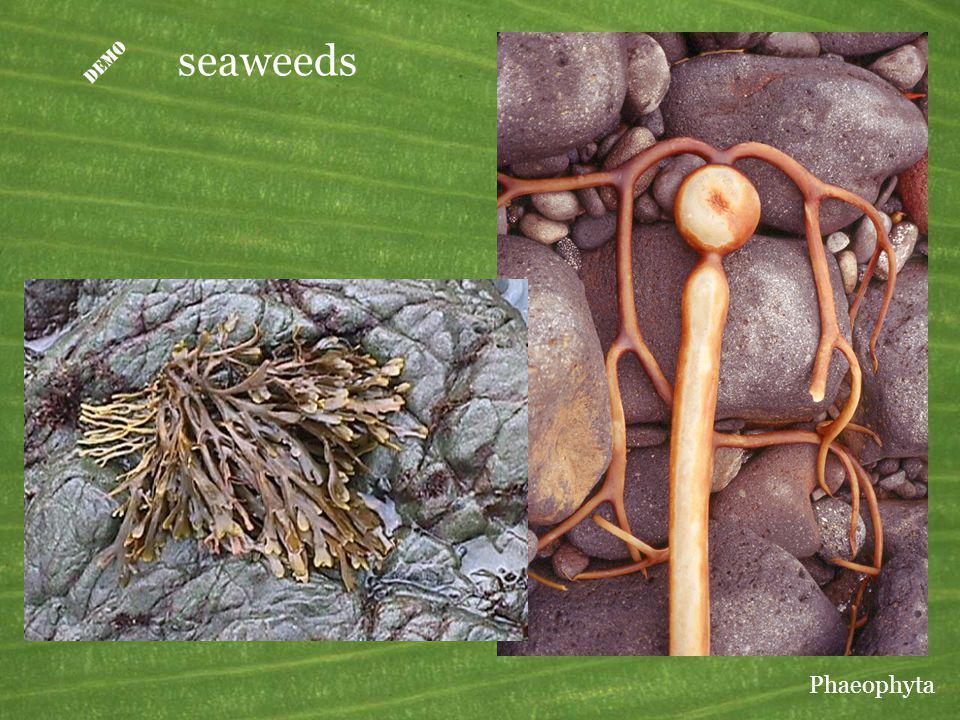 seaweeds Phaeophyta