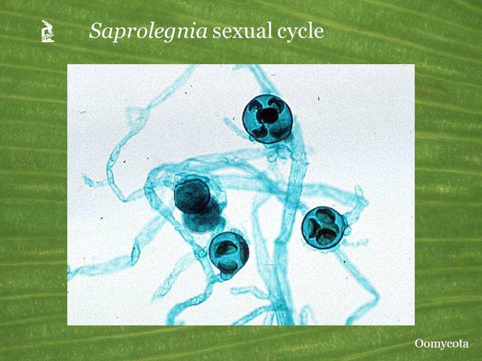 Saprolegnia sexual cycle Oomycota